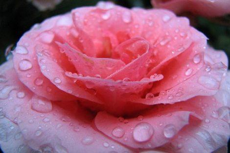Agua de rosas: beneficios y propiedades