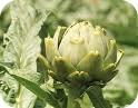 alcachofa-adelgazar