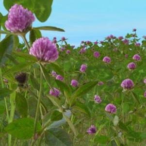 Alfalfa: una fuente de minerales beneficiosa