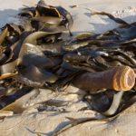 Alga Cochayuyo: propiedades y beneficios