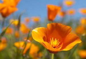 Amapola de California: propiedades, remedios y contraindicaciones