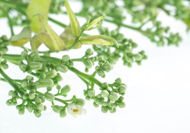 arbol-quino