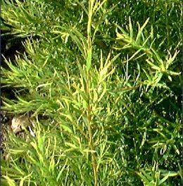 arbol-del-te-tea-tree