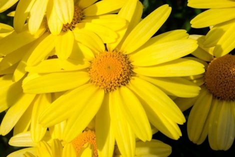 Árnica Montana: propiedades para aliviar dolores musculares