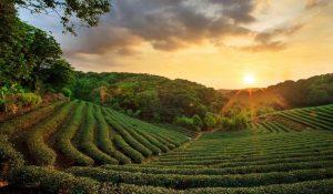 Té Assam: qué es, beneficios y propiedades