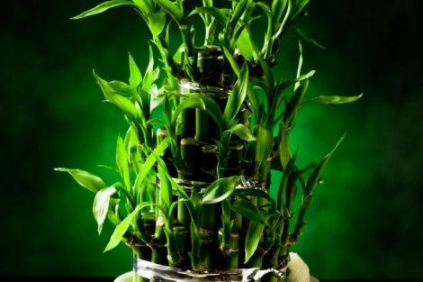 Por qué decorar espacios con bambú de la suerte y cómo elegirla