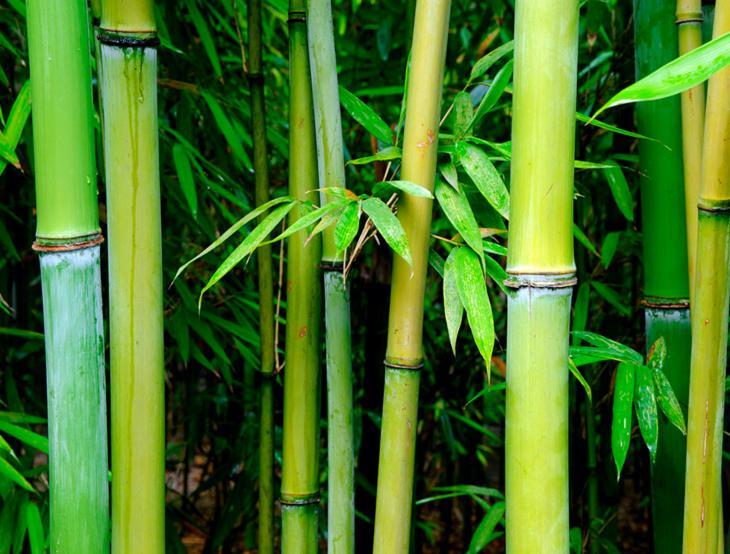 bambu-japones