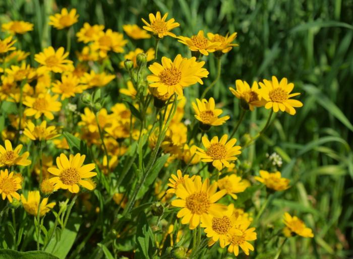 Beneficios de la arnica