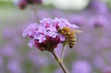 Verbena: beneficios, propiedades, remedios y contraindicaciones