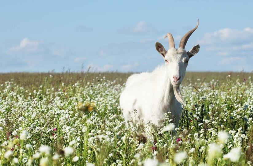 Leche de cabra para la belleza más natural