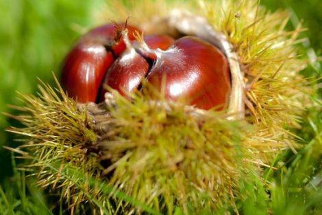 Leche de castañas: beneficios y propiedades