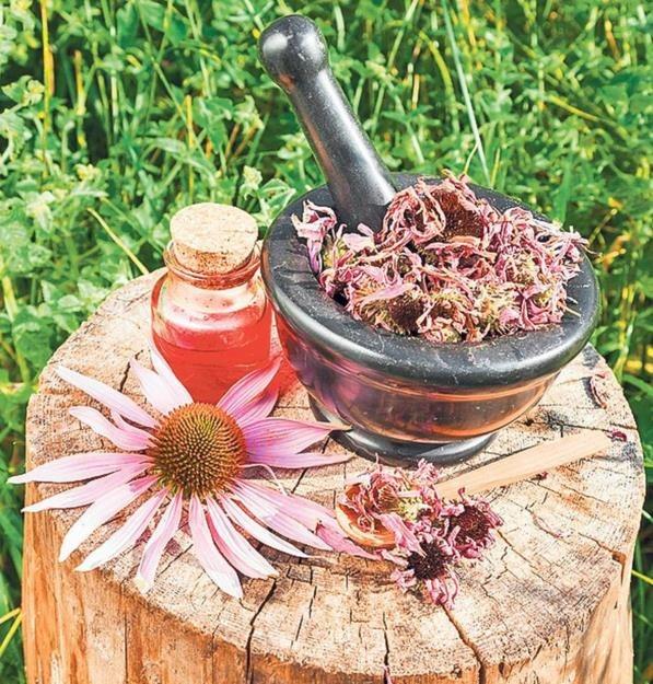 decoccion-de-echinacea-receta