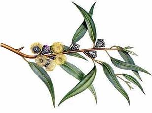 El eucalipto, ideal para las afecciones del aparato respiratorio