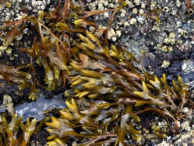 Fucus, un alga ideal en dietas de adelgazamiento