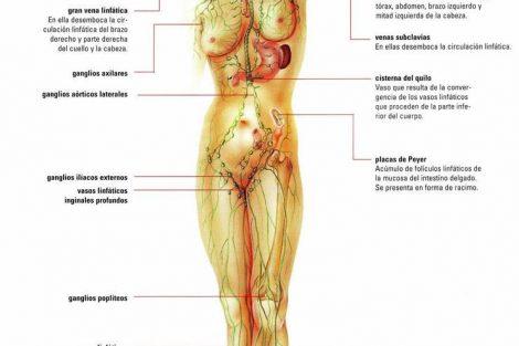 ¿Cuántos ganglios hay en nuestro cuerpo?