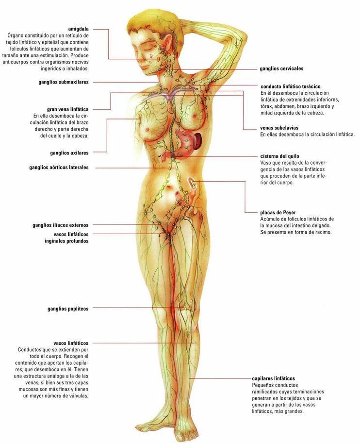 Cuántos ganglios hay en nuestro cuerpo?