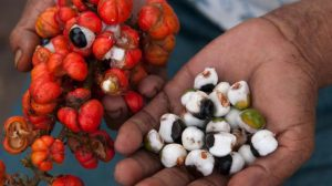 Los increíbles beneficios del guaraná y sus contraindicaciones