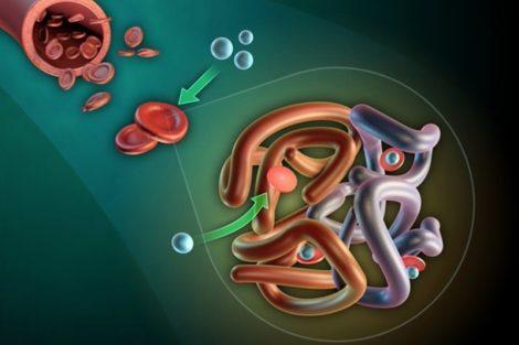 Qué es la Hemoglobina Corpuscular Media (HCM) y valores normales