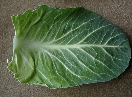 Por qué es bueno calentar hojas de col