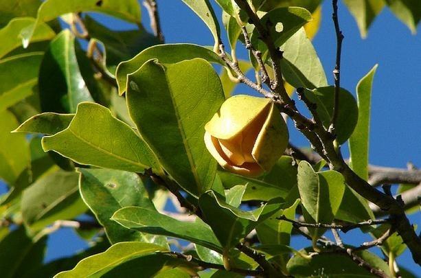 Infusión de hojas de guanábana