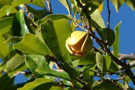Cómo hacer una infusión de hojas de guanábana