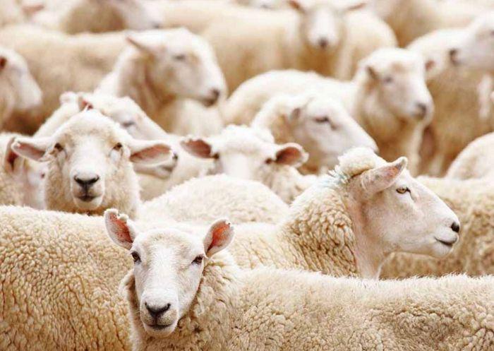 lana-ovejas-piel