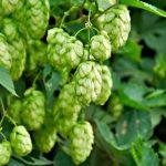 Los beneficios y propiedades del lúpulo y algunos remedios naturales