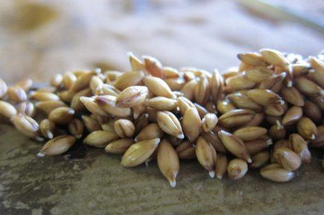 Beneficios de la malta de cebada