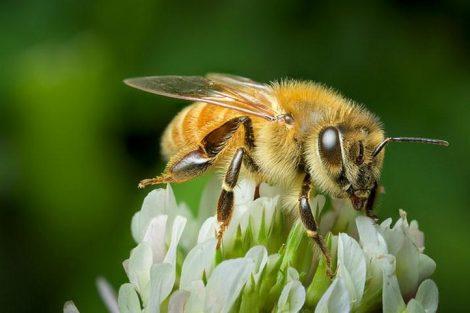 Miel de manuka: beneficios y propiedades