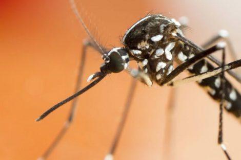 Mosquitos tigre: qué son, síntomas de su picadura y remedios naturales