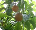 naranja-amarga-beneficios
