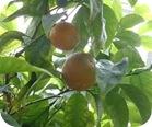 Beneficios de la naranja amarga para quemar grasas