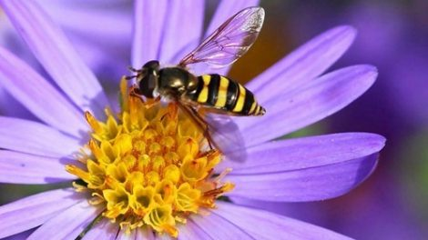 Primeros auxilios ante una picadura de abeja