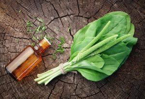 Plantago: qué es, beneficios, propiedades y contraindicaciones