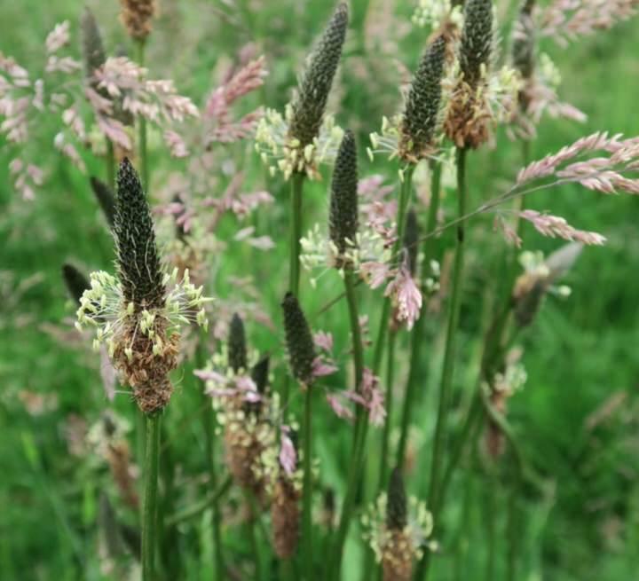 Beneficios medicinales del plantago