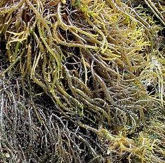 Plantas saciantes para adelgazar y perder peso