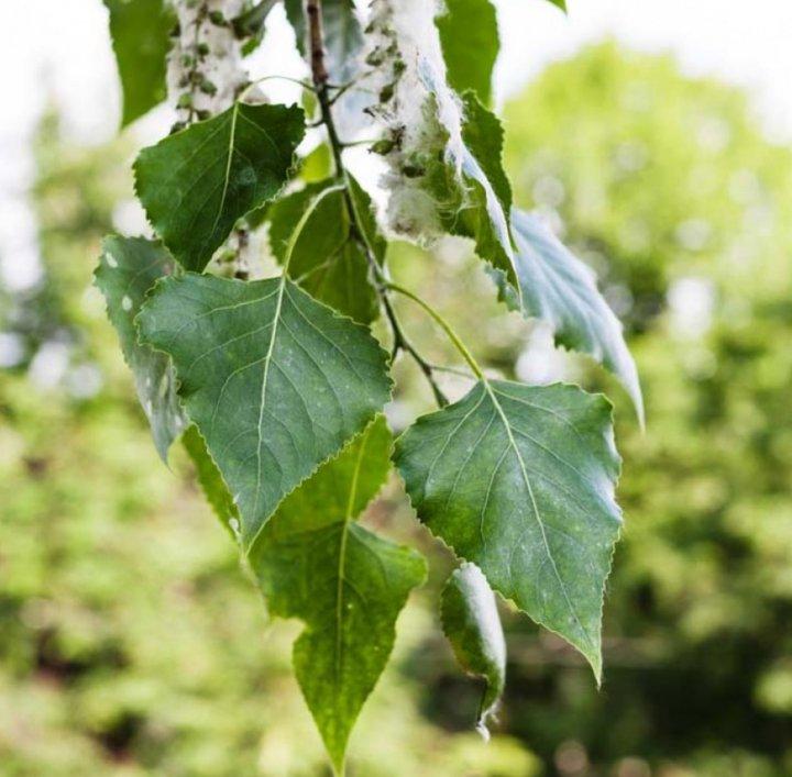 Beneficios del alamo negro