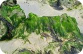 propiedades-algas-azules