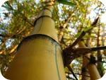 Bambú: beneficios de un alimento remineralizante