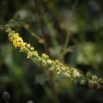 Los beneficios y propiedades de la Agrimonia y remedios naturales