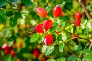 Remedios naturales con escaramujo, cómo hacerlos en casa