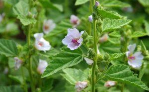 7 remedios naturales con malvavisco