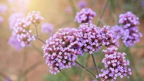 Remedios naturales con verbena