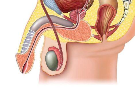 Qué son los testículos y para qué sirven: sus funciones principales