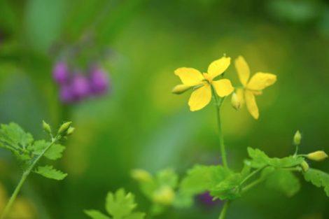 Beneficios y propiedades medicinales de la Tormentila, remedios y contraindicaciones