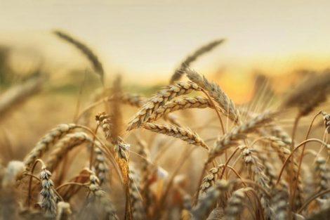 ¿Sabías que el trigo empeora las enfermedades crónicas y autoinmunes?