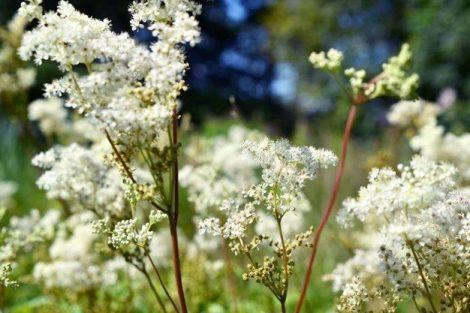 Beneficios y propiedades de la Ulmaria, remedios y contraindicaciones